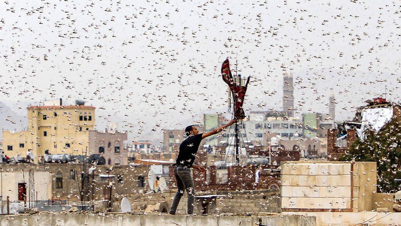 UN Warning: Locust Plague Coming to Egypt's Neighbors ...
